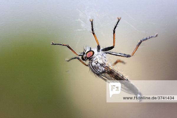 Fliege am Fenster