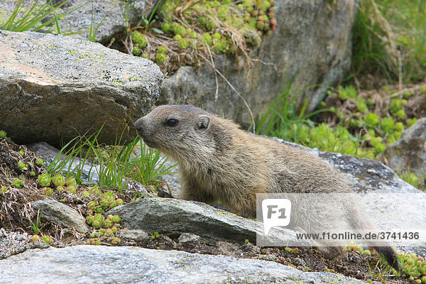 Alpen-Murmeltier (Marmota marmota)