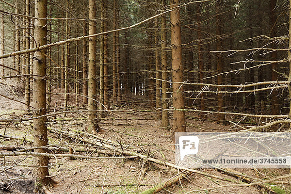 Norway Spruce managed forest (Picea abies)  Rhoen  Thuringia  Germany  Europe