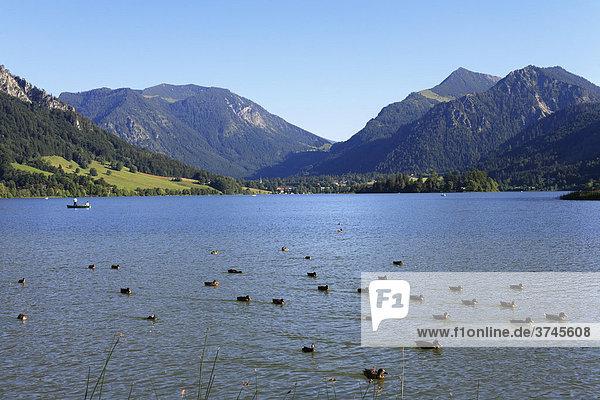 Enten auf Schliersee  Mangfallgebirge mit Nagelspitz und Brecherspitz  Oberbayern  Deutschland  Europa
