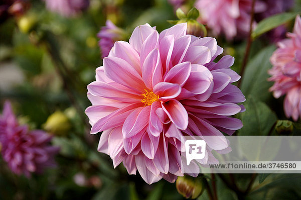 Blüte einer Dahlie (Dahlia)  Wachenroth  Mittelfranken  Bayern  Deutschland  Europa