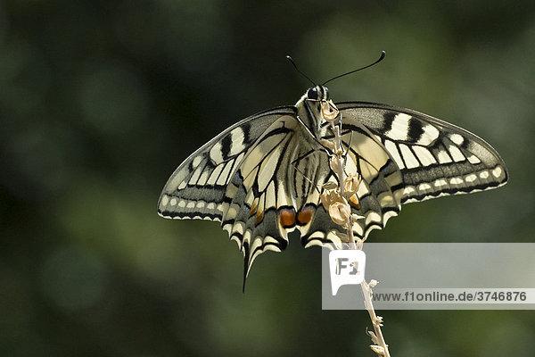 Schwalbenschwanz (Papilio machaon)  FrÈjus  Var  Frankreich  Europa
