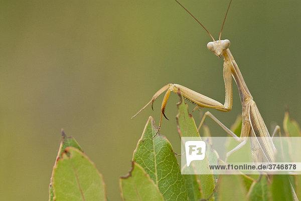 Gottesanbeterin (Mantis religiosa) in Beutestellung  FrÈjus  Var  Frankreich  Europa