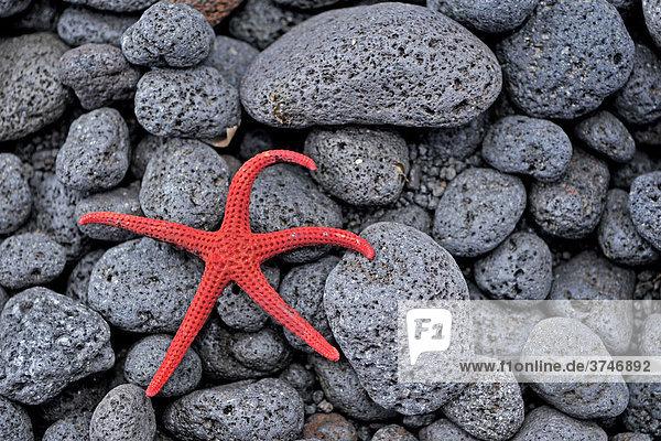 Seestern auf schwarzem Lavaegestein am Strand von Stromboli  Stromboli  Liparische Inseln  Süditalien  Italien  Europa