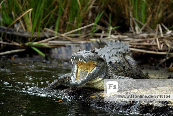Krokodil (Crocodilia) mit aufgerissenem Rachen  Black River  Negril  Jamaika  Karibik  Mittelamerika