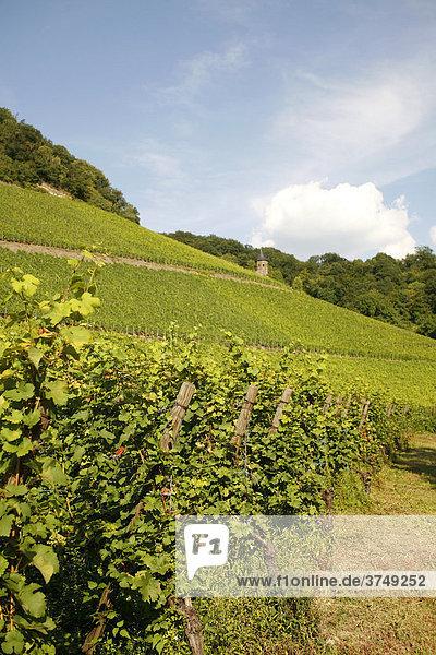 Weinanbau  Weinreben  Bad Honnef  Drachenfels  Siebengebirge  Nordrhein-Westfalen  Deutschland  Europa