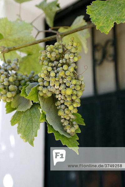 Weintrauben  Zierwein  Weinrebe  Costa Brava  Katalonien  Spanien  Europa