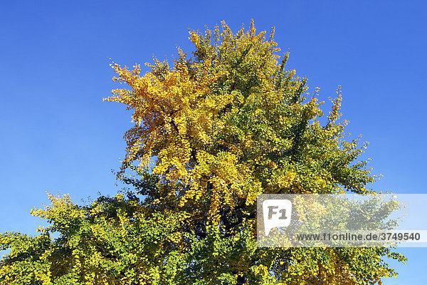Ginkgo-Baum  Mädchenhaarbaum  Fächerblattbaum (Ginkgo biloba)  in Herbstfärbung  Heilpflanze