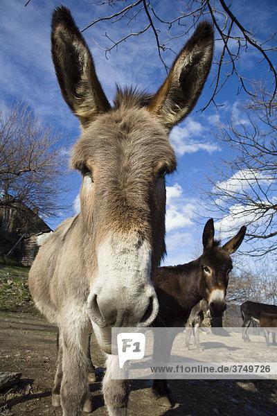 Donkey (Equus asinus)  Southern France  Europe
