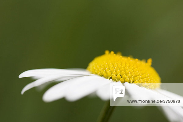 Margerite (Leucanthemum vulgare)