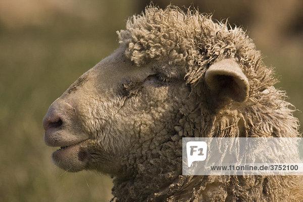 Cross between a Blackhead Persian sheep (Ovis aries steatopyga persica) and Merino sheep (Ovis aries hispanica)