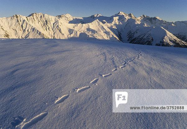 Spur im Schnee  Tuxer Alpen  Tirol  Österreich  Europa