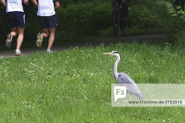 Graureiher (Ardea cinerea) beobachtet zwei Läufer  Ruhe gegen Hektik