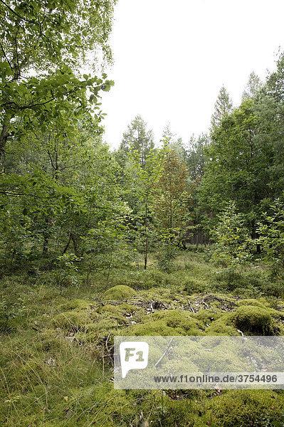 Waldszene mit Moos  Mecklenburg-Vorpommern  Deutschland