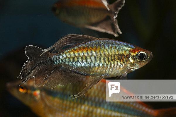 Blauer Kongosalmler (Phenacogrammus interruptus)  männlich  aus Afrika  Warmwasser  Süßwasseraquarium
