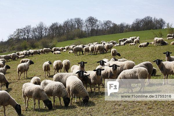 Flock of sheep  black-headed Rhoen Mountain Sheep  (Ovis ammon f. aries)  Lange Rhoen  Lower Franconia  Bavaria  Germany  Europe
