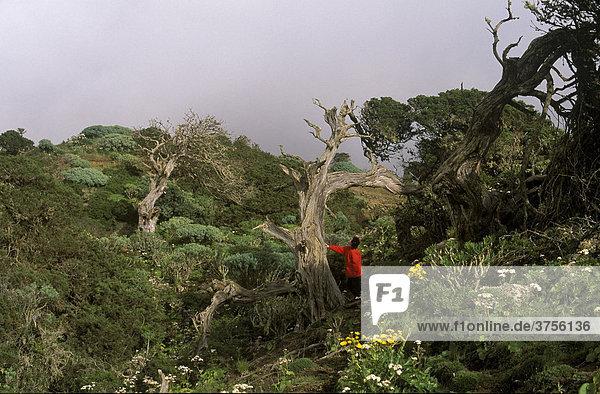 El Sabinar Wacholderwald  El Hierro  Kanarische Inseln  Spanien