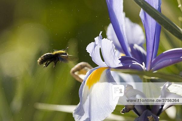 Honigbiene (Apis mellifica) bestäubt Schwertlilie  Cannes  Alpes-Maritimes  Frankreich  Europa
