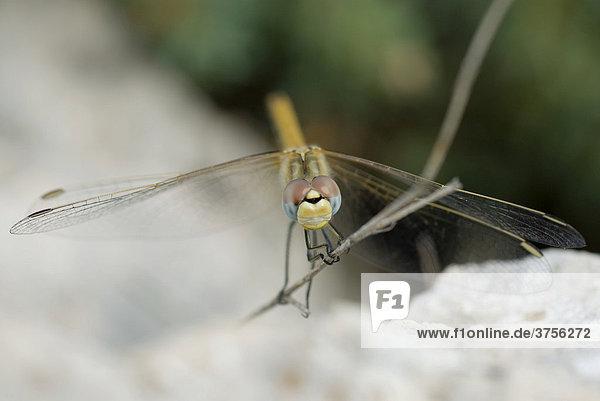 Libelle (Odonata)  Cannes  Alpes-Maritimes  Frankreich  Europa
