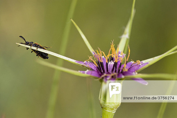 Käfer (Pyrochroa coccinea) auf Blüte  Cannes  Alpes-Maritimes  Frankreich  Europa