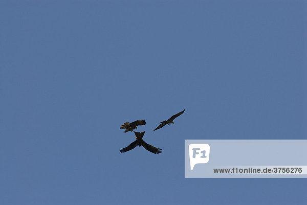 Schwarzmilane (Milvus migrans) im Luftkampf  FrÈjus  Var  Frankreich  Europa