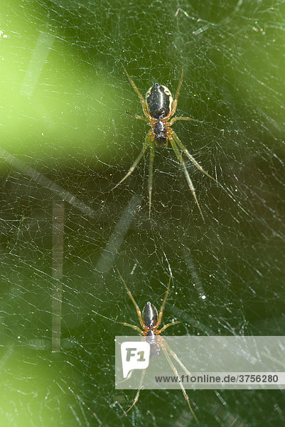 Spinnenpaar im Netz