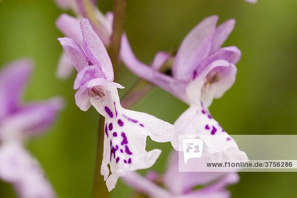 Hyeres-Knabenkraut (Orchis olbiensis)  Grasse  Alpes-Maritimes  Frankreich  Europa