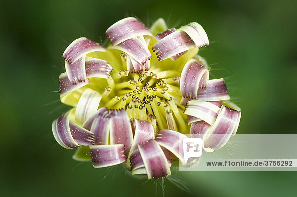 Sich öffnende Knospe eines Korbblüters (Asteraceae  Compositae)  FrÈjus  Var  Frankreich  Europa