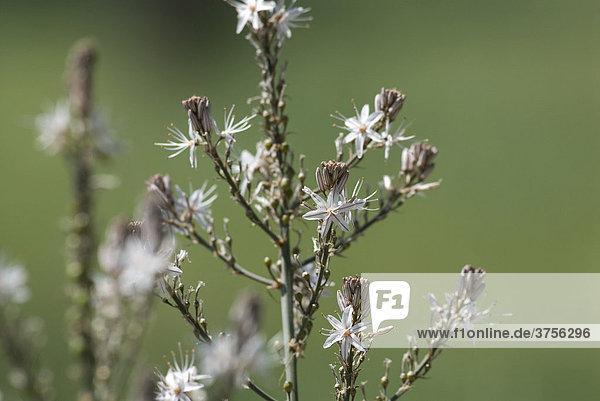 Affodill (Asphodelus aestivus)  FrÈjus  Var  Frankreich  Europa