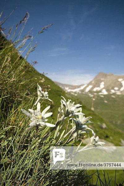 Edelweiß (Leontopodium alpinum)  Franz-Josefs-Höhe  Nationalpark Hohe Tauern  Kärnten  Österreich  Europa