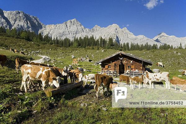 Cows grazing on the Ladiz-Alm alpine pasture  Karwendel Range  Tyrol  Austria  Europe