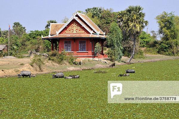 Wasserbüffel (Bubalus bubalis)  Provinz Kompong Thom  Kambodscha  Asien