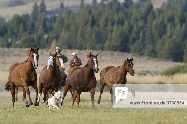 Pferde und Cowboys Oregon USA