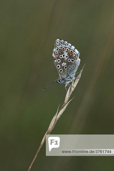 Himmelblauer Bläuling (Lysandra bellargus)  Donauauen  Bayern  Deutschland