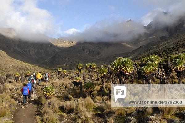 Trekkinggruppe auf Pfad zwischen endemischem Riesen-Greiskraut (Senecio keniodendron) vor wolkenumrankten Gipfeln Mount Kenia Nationalpark Kenia