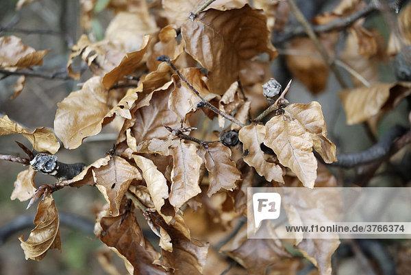 Zweig mit vertrocknetem Buchenlaub  fagus silvatica  fagaceae