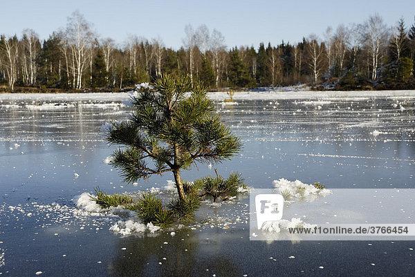 Junger Kiefernbaum pinuns sylvertris pinaceae wächst in einer Überschwemmungsfläche und ist in einer gefrorenen Eisdecke eingefroren Nicklheim Deutschland