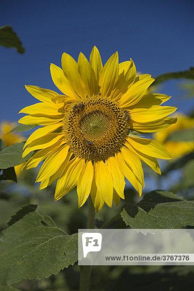 Sonnenblume (Helianthus annuus) mit Biene (Apis mellifera)