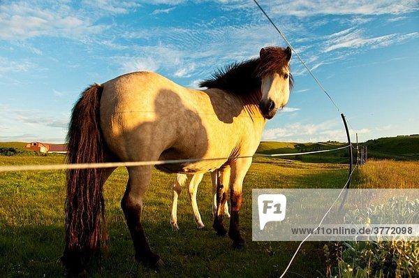 Icelandic horses at Nessbakki South Iceland