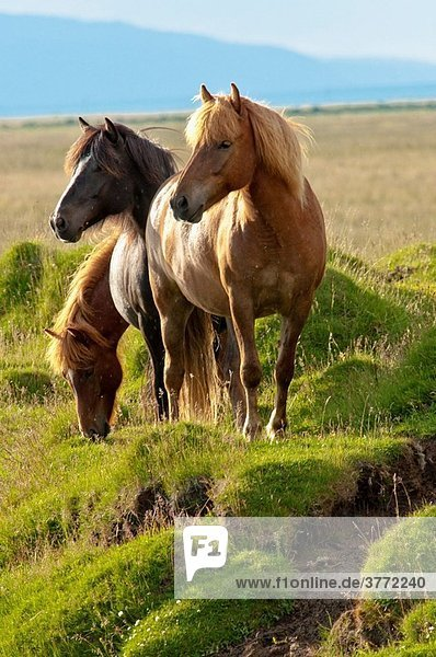 Icelandic horses at Vestur-Landeyjar South Iceland