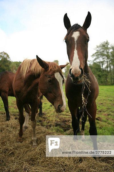 Zwei junge Pferde beim Heu fressen auf einer Wiese  Wohldorf  Hamburg  Deutschland