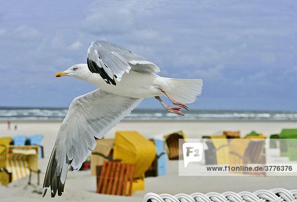 Silbermöwe (Larus argentatus) fliegt über Strandkörbe auf Juist  Nordseeinsel  Niedersachsen  Deutschland
