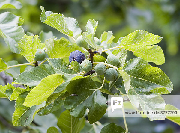 Figs on a tree (Ficus carica)