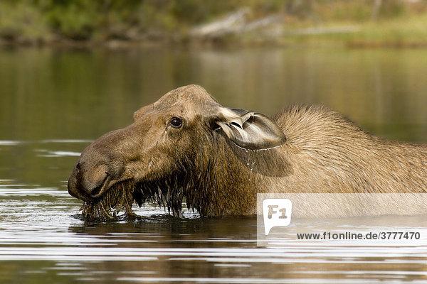 Elchkuh  Alces alces  in tiefem Wasser  frisst Wasserpflanzen  Big Salmon Lake  Yukon Territorium  Kanada