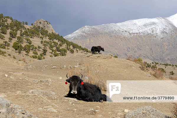 Yaks in front of forest of old juniper Juniperus trees and snow covered mountains at Reting monastery Tibet China