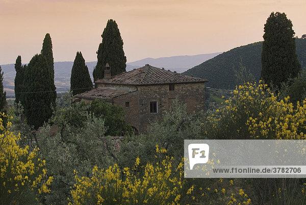 Landhaus inmitten von Zypressen und blühenden Ginsterbüschen nahe Montalcino  Toskana  Italien
