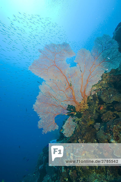 Gorgonia  Scleraxonia  Indonesia.