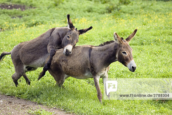 Donkeys  pair mating  Equus asinus  Germany