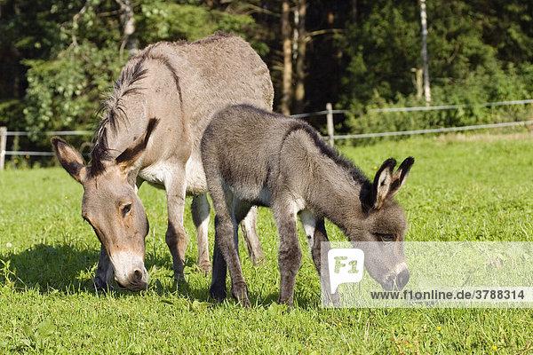 Donkey with foal  Equus asinus  Bavaria  Germany