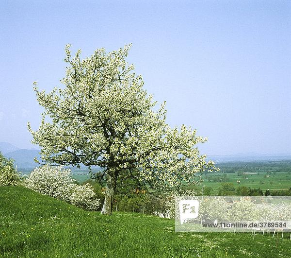 Bad Feilnbach district of Rosenheim Upper Bavaria Germany flourishing apple tree